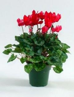 Растение цикламен уход в домашних условиях 65